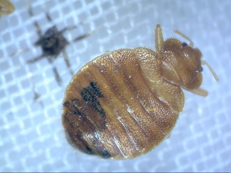 Bed Bugs in Kansas City