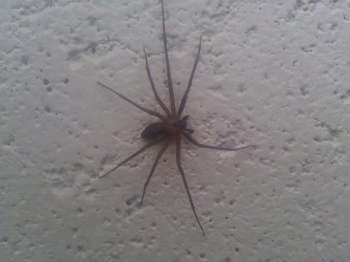 brown-recluse-2
